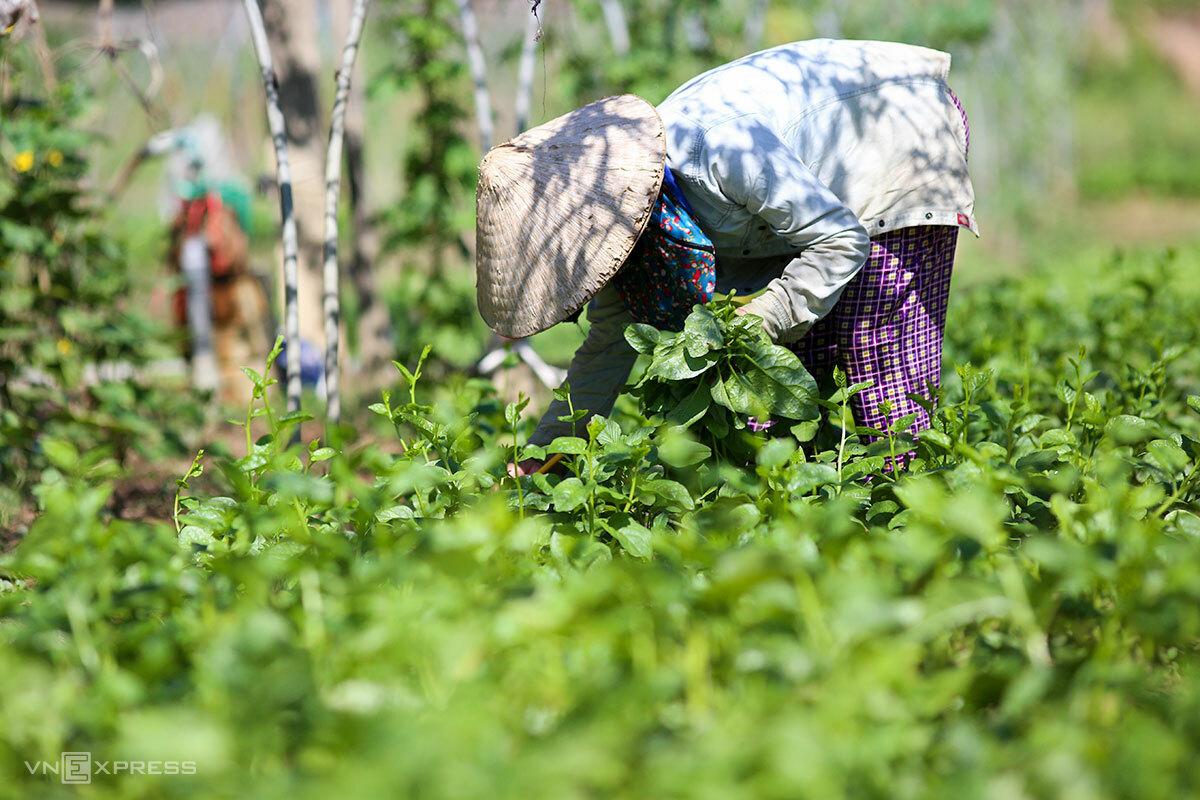 Các hộ dân ở Tuý Loan ra chăm sóc và thu hoạch rau tối đa 3 tiếng/ngày. Ảnh: Nguyễn Đông.