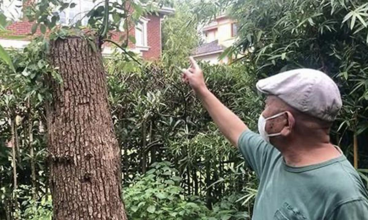 Việc chặt tỉa cây nguyệt quế long não khiến ông Li bị phạt hơn 21.000 USD. Ảnh: Shanghai Morning Post