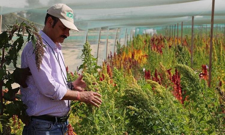 Cây diêm mạch trồng trên sa mạc Dubai. Ảnh: ICBA