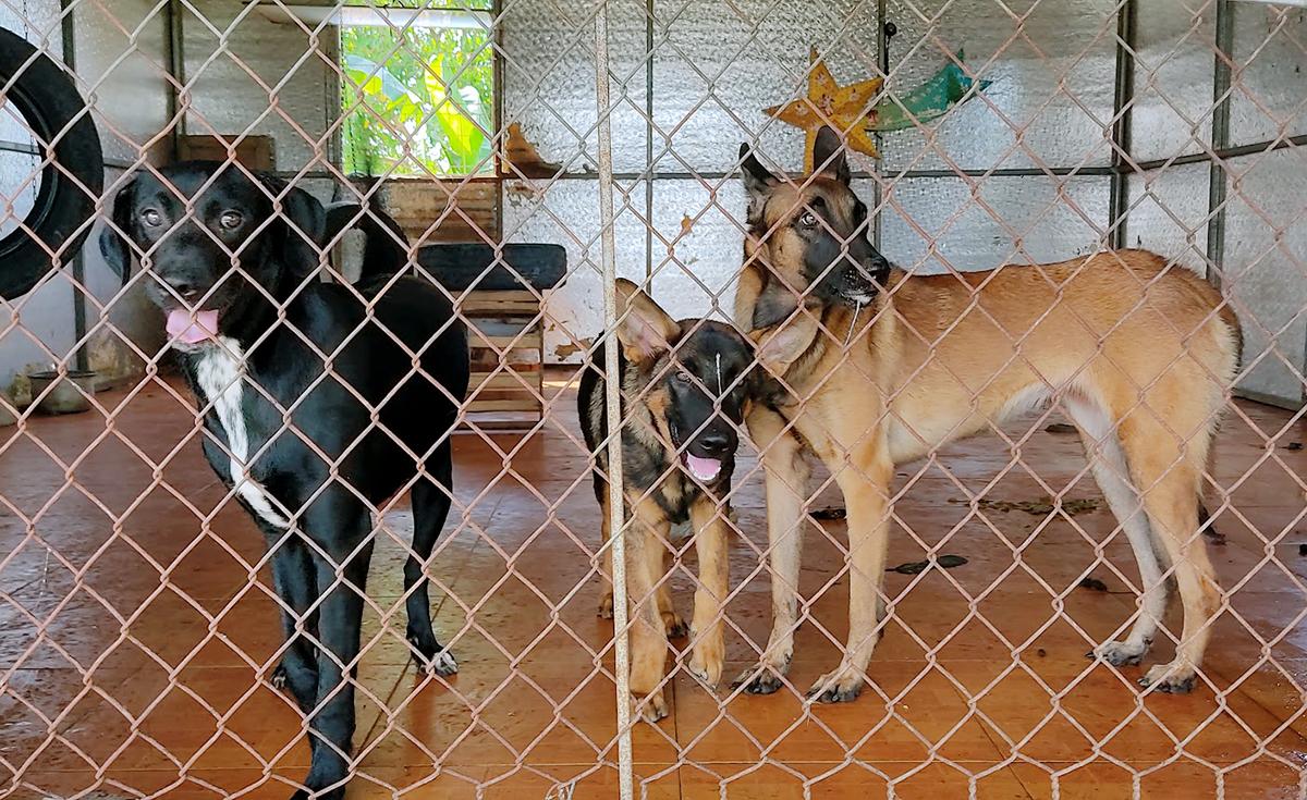 Chó becgie được Tùng nuôi, thả xung quanh trang trại để ngăn người lạ xâm nhập. Ảnh: Đức Hùng