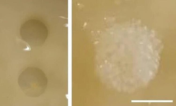 Lỗ rách (trái) trên vật liệu và sau khi tự lành (phải). Ảnh: ICL