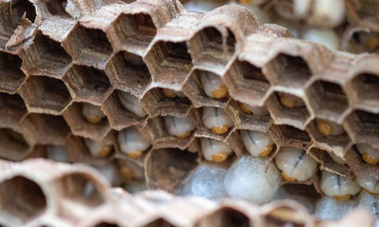 Tổ ong bắp cày sát thủ vừa phát hiện ở Washington chứa 1.500 ấu trùng đang phát triển. Ảnh: WSDA