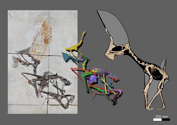 Bộ xương gần như hoàn chỉnh của Tupandactylus navigans ở hệ tầng Crato. Ảnh: Victor Beccari