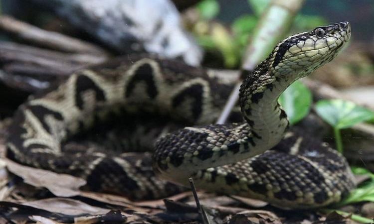 Rắn jararacussu thuộc phân họ rắn hang. Ảnh: Reuters
