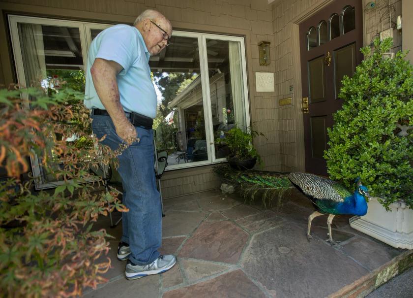 Một cư dân Los Angeles chào đón một con công đực có biệt danh là Charlie, vị khách thường xuyên đến thăm nhà ông. Ảnh: Los Angeles Times