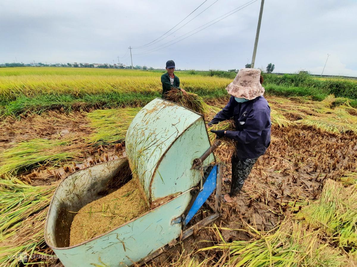 Nông dân thị trấn Hà Lam, huyện Thăng Bình, Quảng Nam gặt lúa chạy bão chiều  10/9. Ảnh: Đắc Thành.