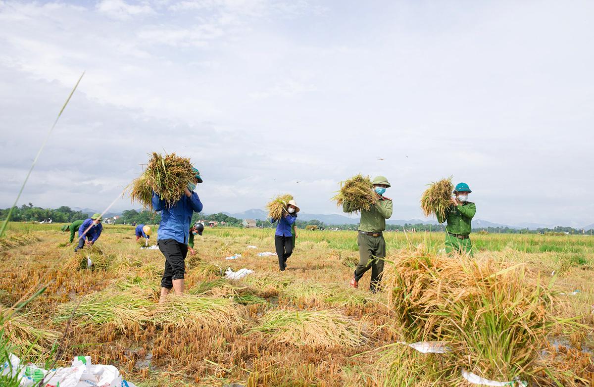 Công an, thanh niên ở huyện Hương Sơn giúp người dân xã Kim Hoa thu hoạch lúa, chiều 10/9. Ảnh: Đức Hùng