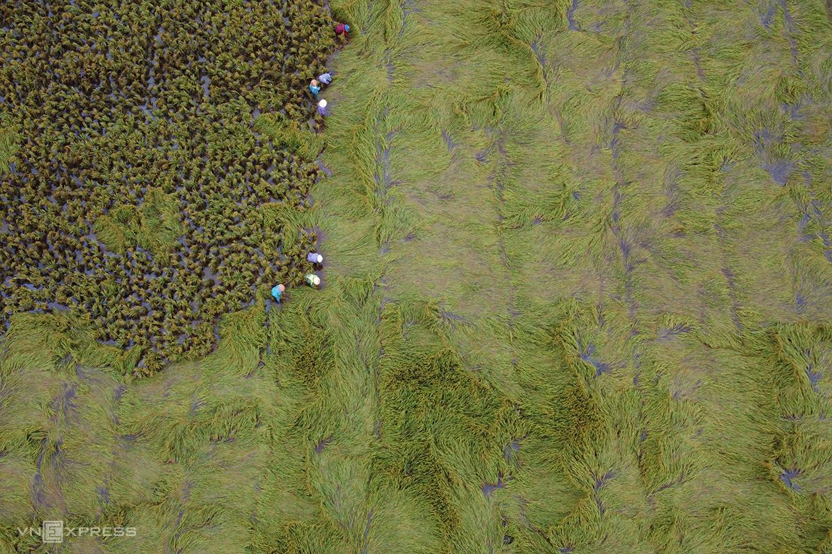 Toàn tỉnh Quảng Trị có 290 ha lúa bị thiệt hại do bão Côn Sơn. Ảnh: Hoàng Táo