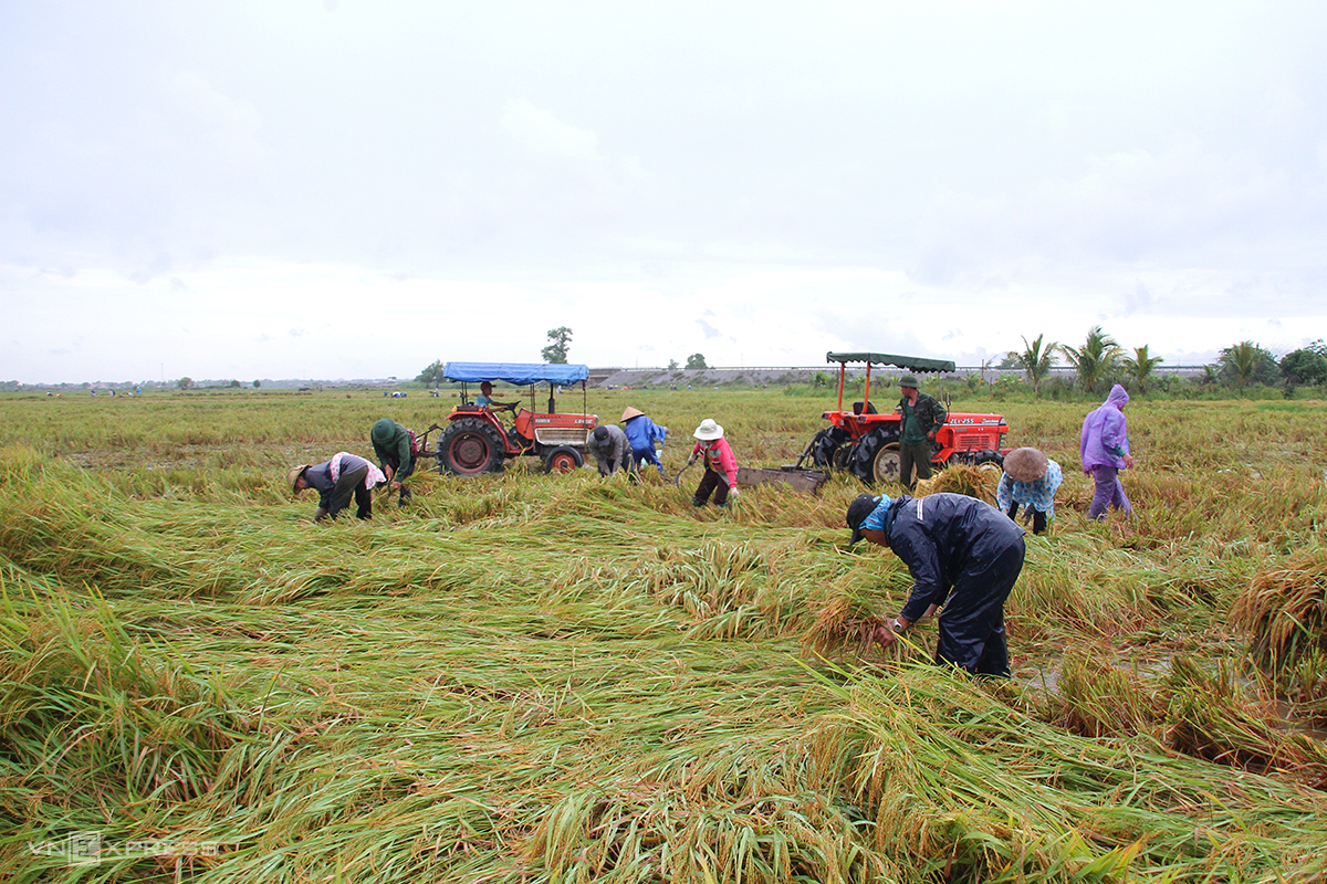 Nông dân ra đồng gặt lúa bị ngã rạp, vớt vát tài sản. Ảnh: Hoàng Táo