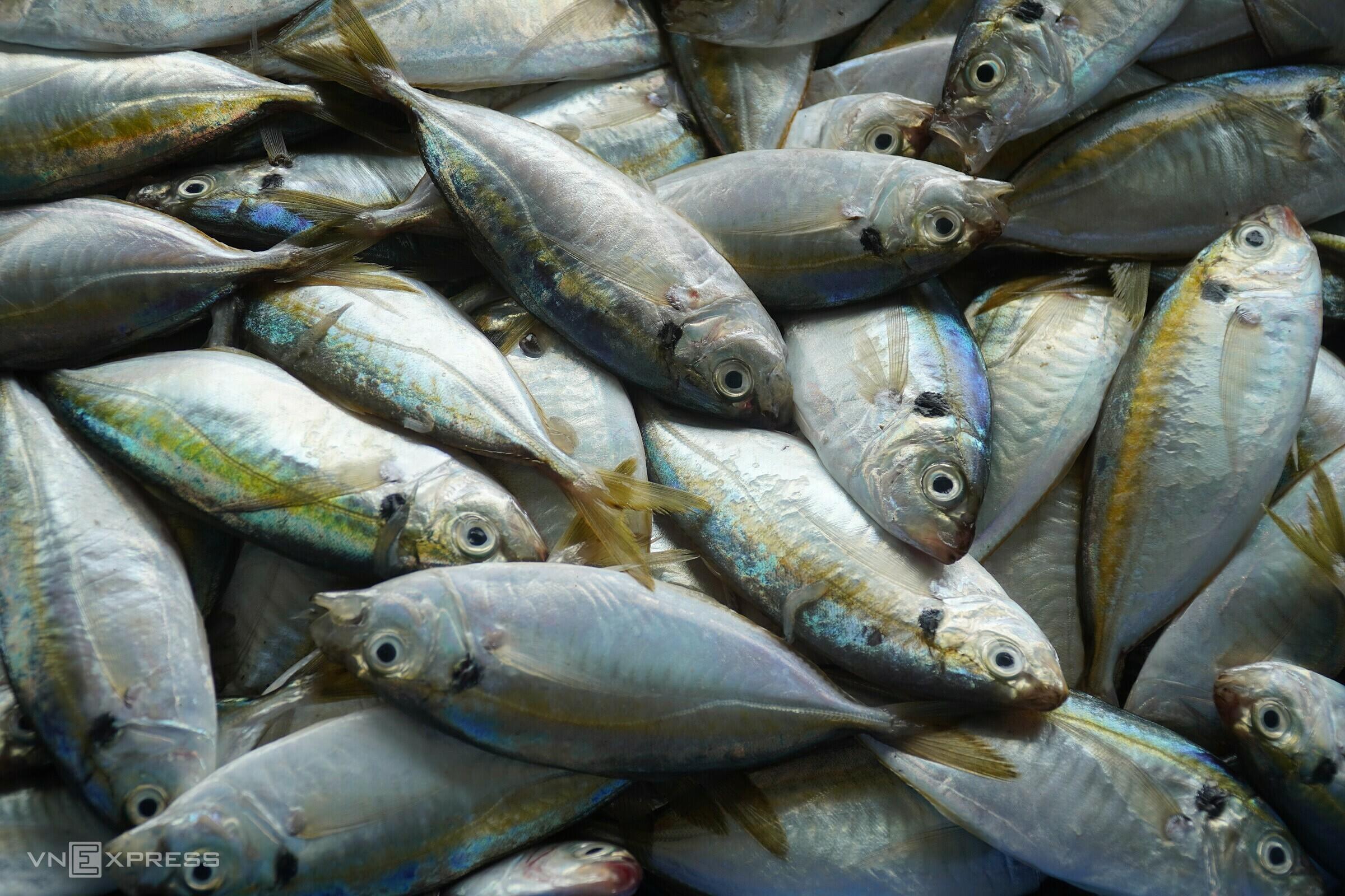 Cá chỉ vàng đánh ở vùng biển Phan Thiết. Ảnh: Việt Quốc