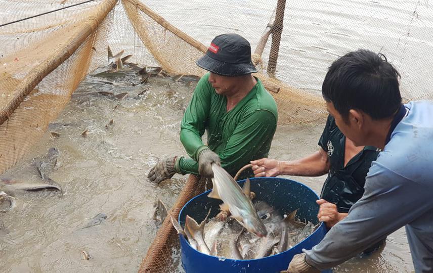 Ao cá của ông Võ Văn Tây ở TP Châu Đốc thu hoạch ngày 12/9. Ảnh: Ngọc Tài