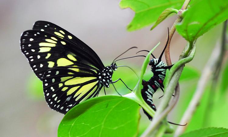 Bướm trưởng thành tấn công ấu trùng ở Indonesia. Ảnh: Yi-Kai Tea