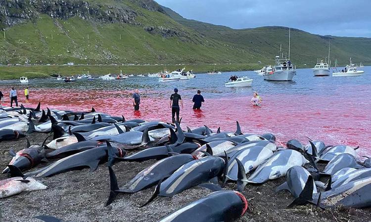 Cá heo hông trắng Đại Tây Dương bị giết thịt trên quần đảo Faroe hôm 12/9. Ảnh: AP