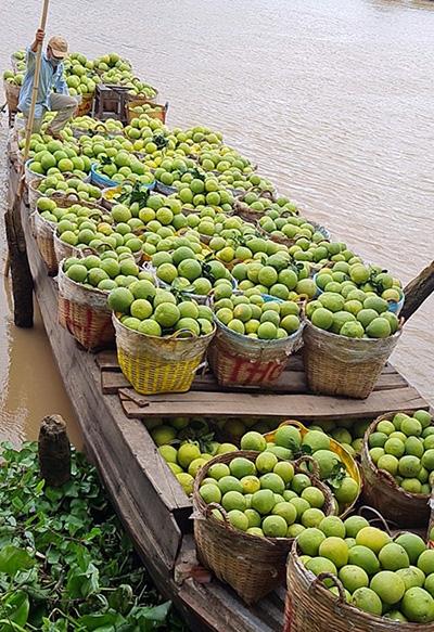 Thương lái thu mua bưởi Năm Roi của người dân TX Bình Minh, tỉnh Vĩnh Long. Ảnh: Châu Thành
