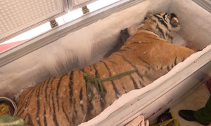 Giữ xác con hổ 160 kg trong tủ đông suốt gần một năm
