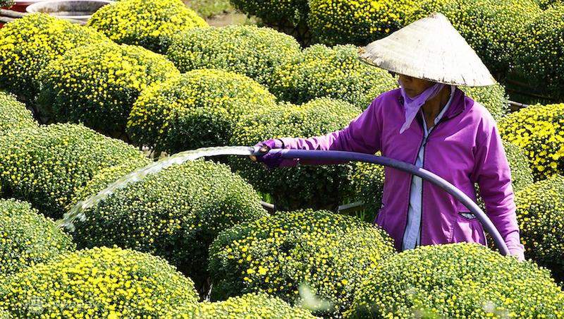 Cúc mâm xôi - chủng loại hoa truyền thống được ưu chuộng dịp tết - được nông dân làng hoa Cái Mơn chăm sóc. Số hoa này bán dịp tết  2021. Ảnhh: Hoàng Nam
