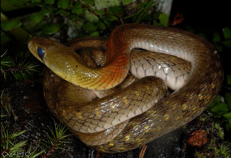 Loài rắn hoa cỏ cổ đỏ - Rhabdophis subminiatus ở Việt Nam. Ảnh: NVCC