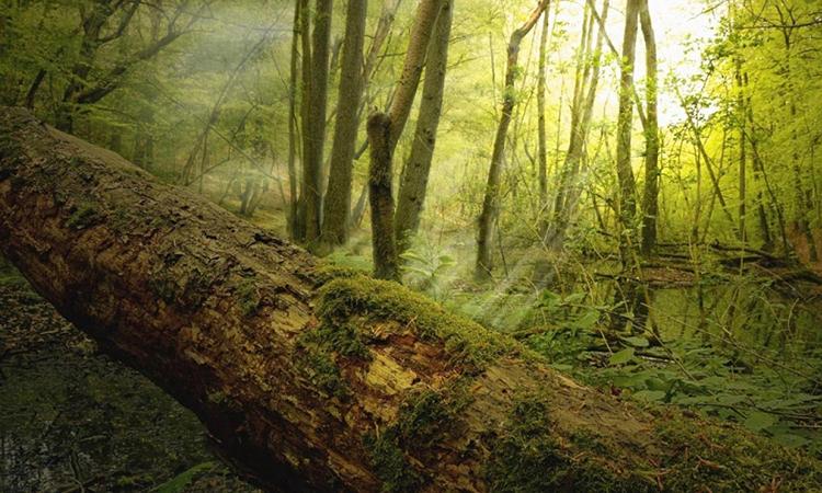 Cây chết đổ trong một khu rừng. Ảnh: ANU
