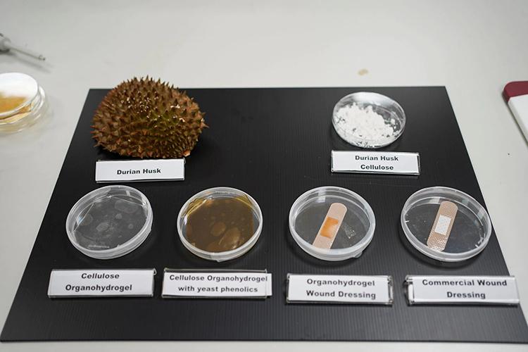 Đĩa Petri chứa các bước biến vỏ sầu sầu riêng thành băng kháng khuẩn, với sản phẩm cuối cùng đặt cạnh băng y tế thông thường để so sánh. Ảnh: Reuters.