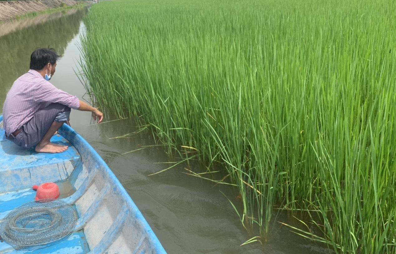 Lúa mùa sau 3 tháng xuống giống đang phát triển tốt, vượt theo nước và là môi trường sinh sống lý tưởng của tôm càng xanh. Ảnh: Trí Nhân
