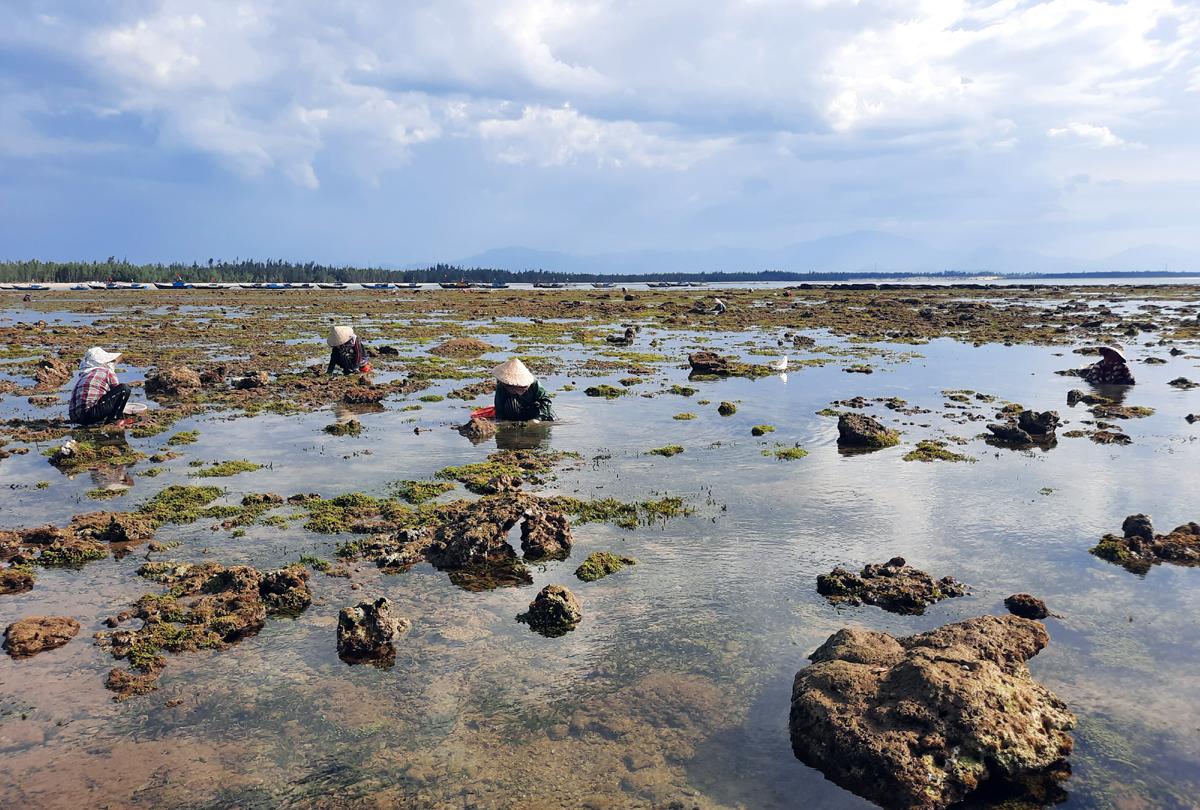 Những phụ nữ xã đảo Tam Hải ra bãi đá bắt nghêu khi nước cạn, họ thường từng tốp nhỏ vừa việc, trò chuyện cùng nhau cho vơi bớt mệt nhọc. Ảnh: Sơn Thuỷ.