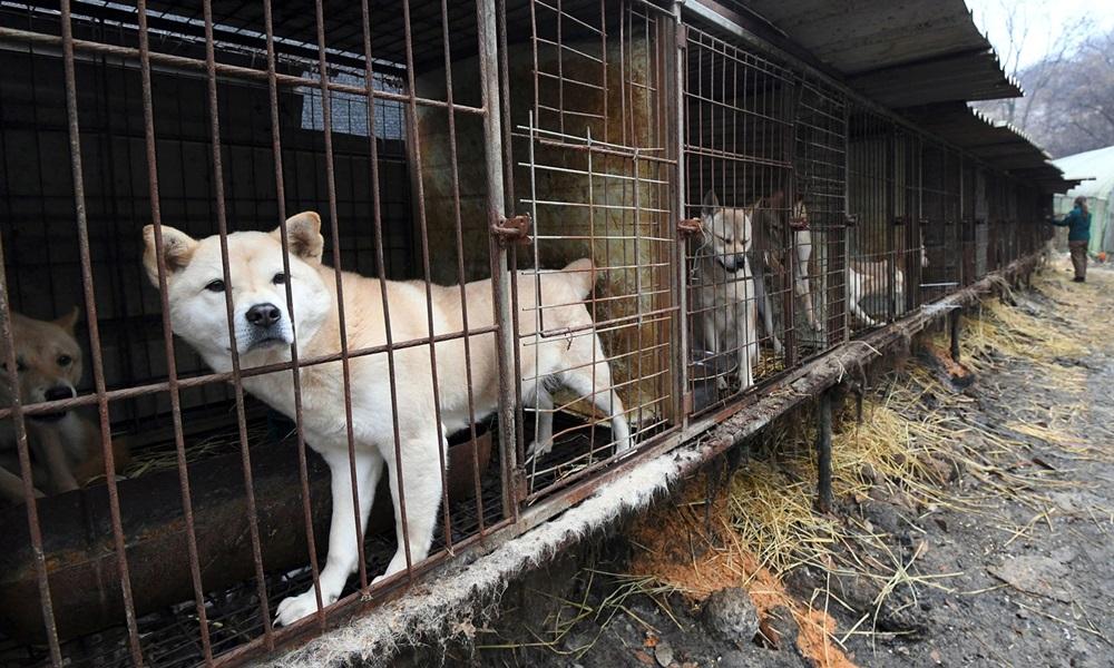 Những con chó tại khu nuôi giữ ở ngoại ô Seoul, Hàn Quốc trong một đợt giải cứu năm 2017. Ảnh: AFP.