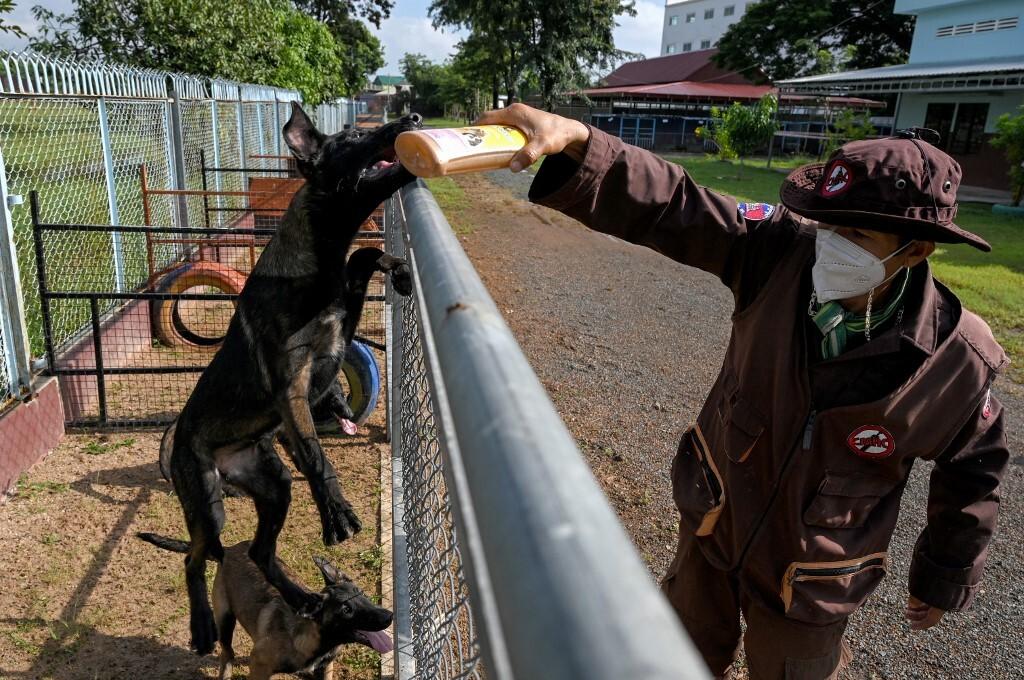 Một huấn luyện viên cạnh chú chó đang được đào tạo phát hiện Covid-19 tại Trung tâm Hành động Bom mìn Campuchia (CMAC) ở tỉnh Kampong Chhnang, Campuchia hôm 27/9. Ảnh: AFP.