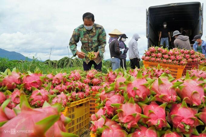Nông dân Nguyễn Văn Thuận ở xã Hàm Hiệp (bìa trái) đang bán thanh long vừa thu hoạch cho thương lái, ngày 21/9. Ảnh:Việt Quốc