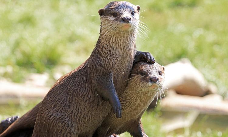 Một đôi rái cá sông. Ảnh: Shutterstock