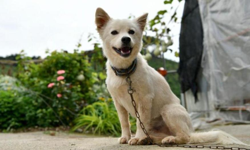 Baekgu, chú chó 4 tuổi đã cứu sống chủ. Ảnh: Chính quyền Hongseong