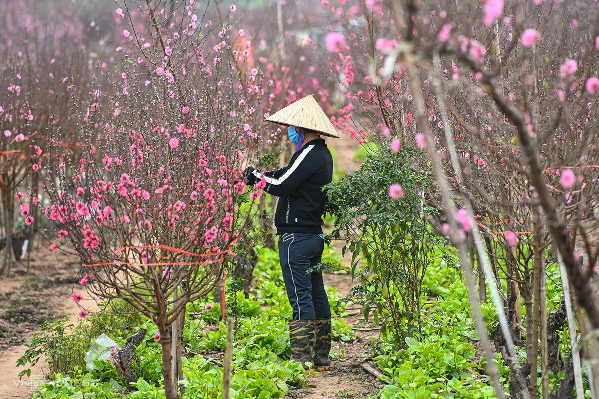 Nông dân Nhật Tân, Hà Nội chăm sóc vườn đào cho vụ Tết Tân Sửu, tháng 2/2021. Ảnh: Giang Huy