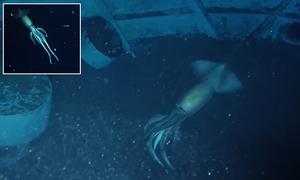 Cảnh quay hiếm về mực ma dưới biển sâu
