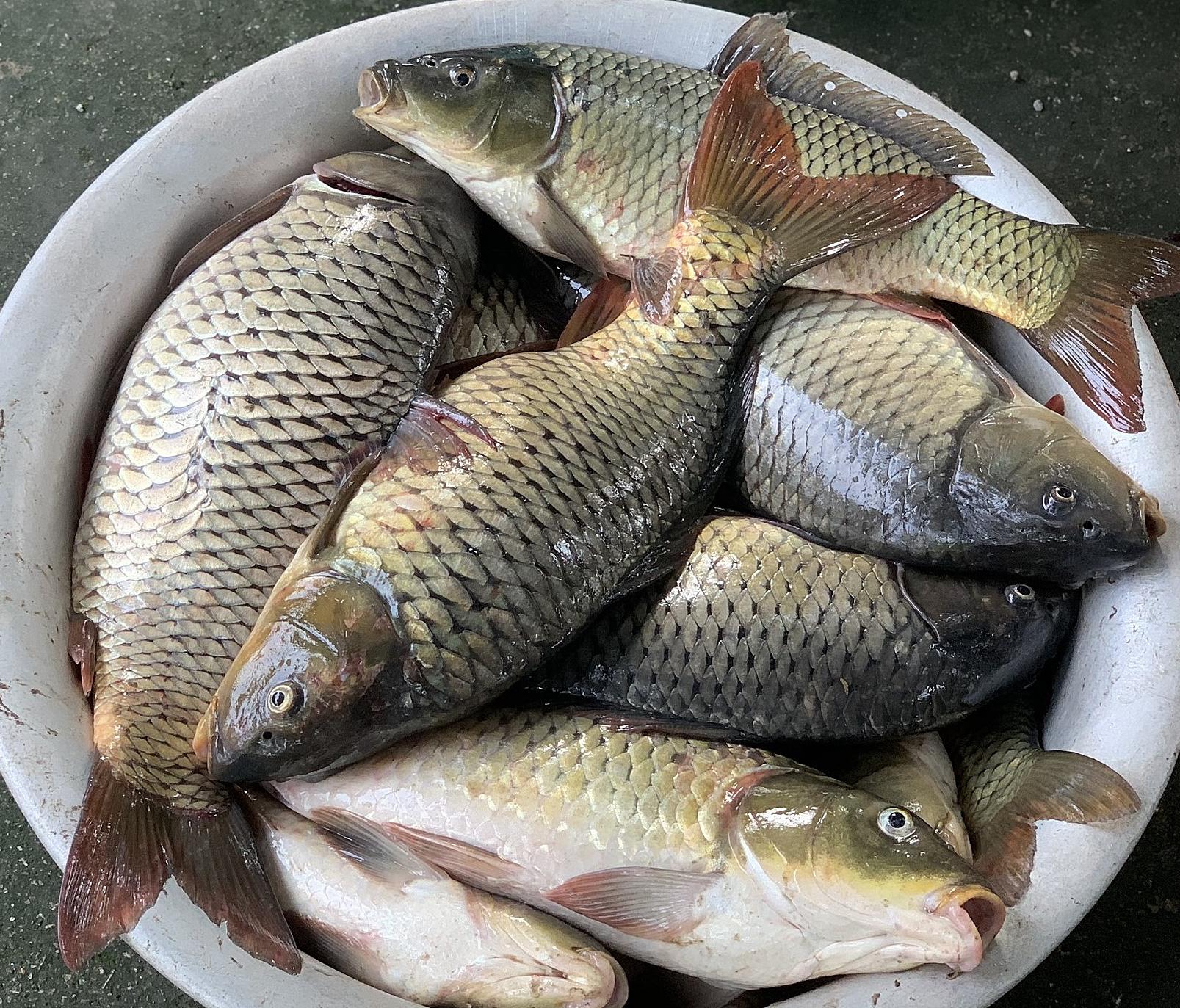 Cá được nuôi tại Hà Nam bằng thức ăn từ đất hiếm. Ảnh: PM