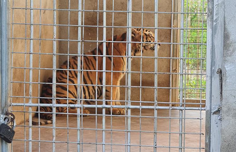 Một trong số 9 con hổ đang được chăm sóc tại khu sinh thái trên địa bàn Nghệ An. Ảnh: XH.