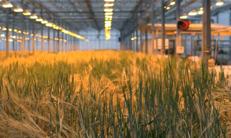 Lúa mạch trồng trong nhà kính của ORF Genetics. Ảnh: BBC