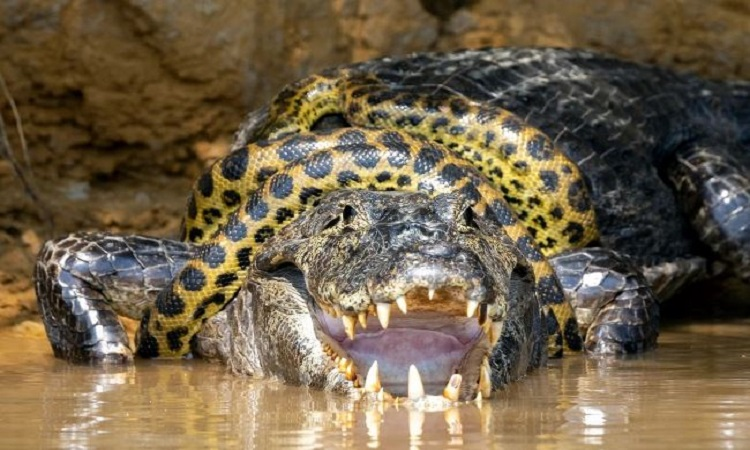 Cá sấu chật vật tìm cách thoát khỏi vòng siết của trăn anaconda. Ảnh: Caters