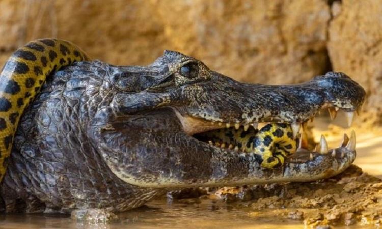 Cá sấu caiman cắn trả kẻ thù. Ảnh: Caters