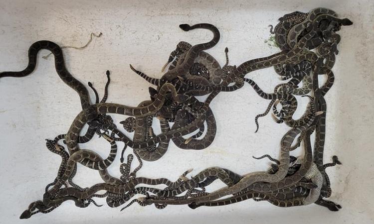 Đàn rắn đuôi chuông bị đội cứu hộ bắt trọn. Ảnh: Sonoma County Reptile Rescue