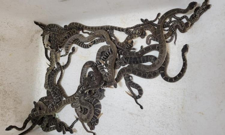 Đàn rắn làm ổ trong nhà người phụ nữ hạt Sonoma, bang California, Mỹ, tháng này. Ảnh: Facebook/Alan Wolf.