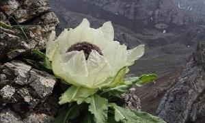 'Nhà kính' giúp tuyết liên nở rộ ở Tây Tạng