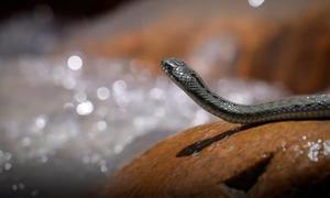 Bí mật gene của loài rắn sống ở nơi cao nhất thế giới