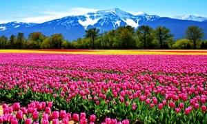 Hoa Tulip ở Amsterdam